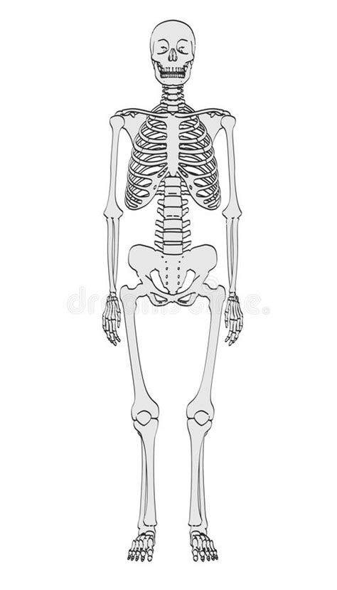 Human skeleton stock illustration. Illustration of cartoon