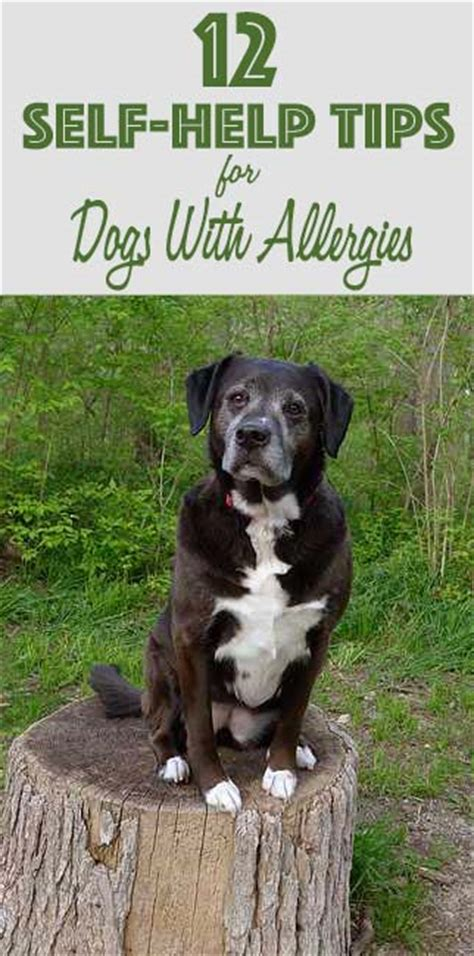 what is apoquel for dogs 12 self help tips for dogs with allergies chasing tales