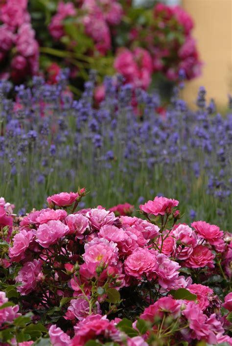 17 Best Images About Flower Carpet Pink Supreme On Pink Garden Flowers