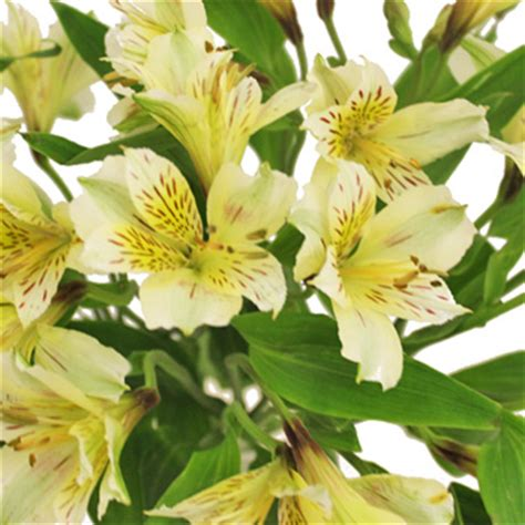 alstroemeria colors yellow bulk peruvian lilies