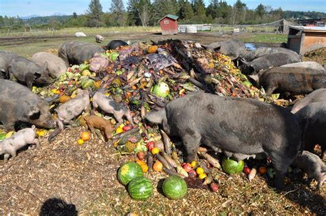 meat pigs eating produce