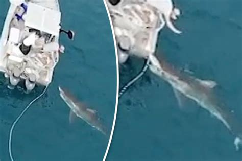 great white attacks fishing boat great white shark filmed attacking fishing boat in port