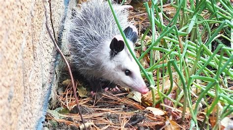 possum in backyard opossums in my toronto backyard