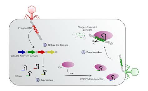 crispr cas crispr cas das genome editing ist en vogue