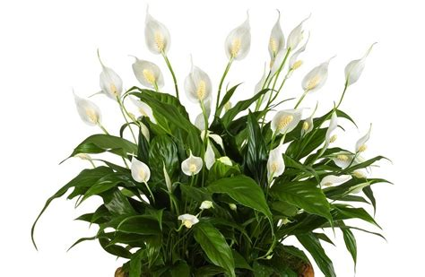 luftreinigende pflanzen schlafzimmer luftreinigende pflanzen schlafzimmer