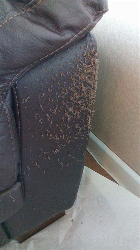 Leather Sofa And Cats by Leather Sofa Cats How To Repair Cat Claw Marks On Leather