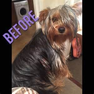 how to cut yorkie hair at home different yorkie haircut styles yorkshire terrier