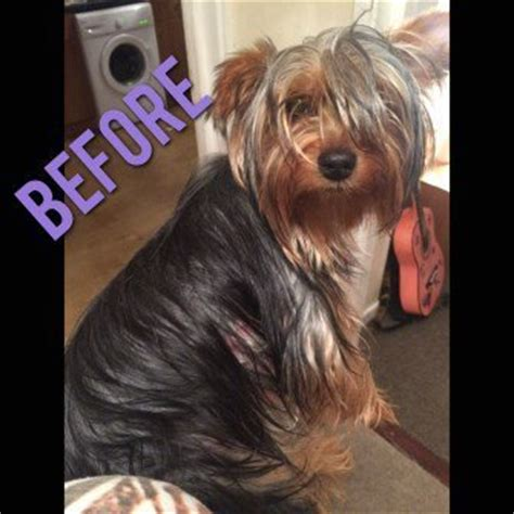 different haircuts for yorkies different yorkie haircut styles terrier information