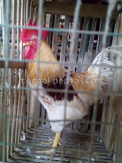Bibit Ayam Petelur Per Ekor memperoleh ayam jantan saat membeli anakan ayam petelur