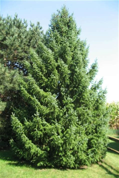 Images Of Christmas Trees colorado conifers top quality wholesale conifer trees
