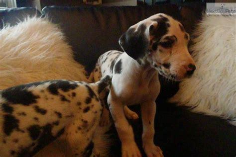 great dane puppies iowa great dane puppy for sale near cities iowa aa836d1e 0761