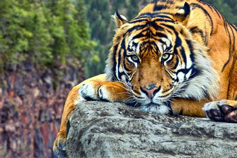tiger backgrounds wildlife of the world tiger desktop wallpapers hd
