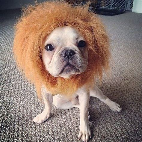 pugs bred to take lions 23 best images about frenchies on chihuahuas dogsofinstagram and for dogs
