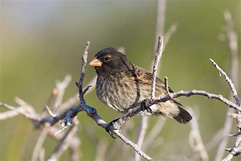 small ground finch geospiza fuliginosa