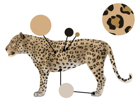 leopard color how to draw animals big cats their anatomy and patterns