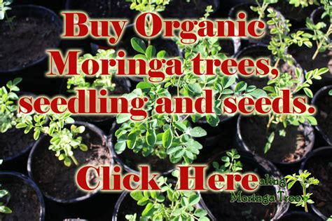 where to buy a tree buy moringa trees