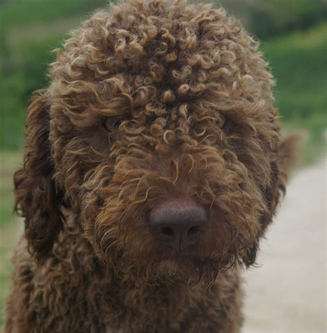 lagotto puppies sitter firenze cat sitter pet therapy educazione cinofila firenze