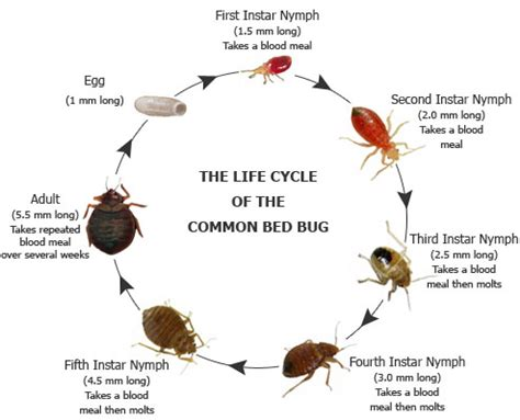 bed bug life span bed bug eggs lifespan bangdodo