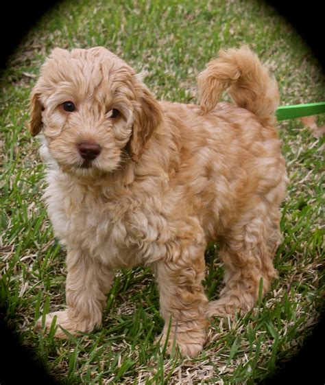 Miniature Australian Labradoodles For Sale Breeds