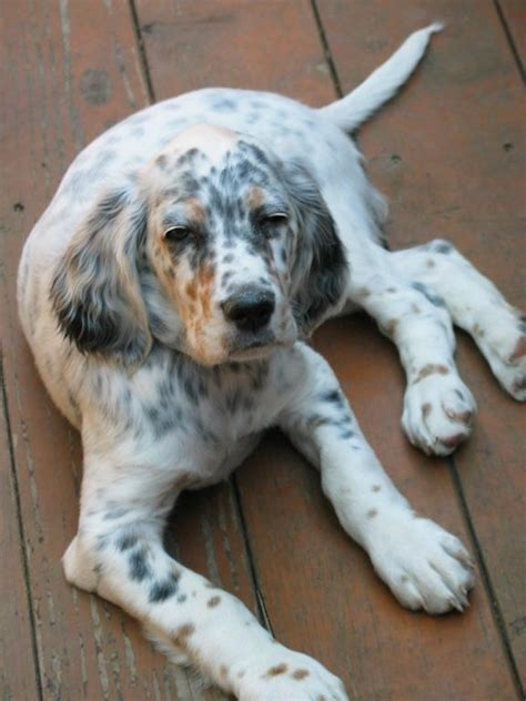 setter dog fable 3 238 best dogs english setter engelse images on pinterest