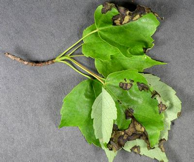 maple tree leaves curling maple leaf blister and anthracnose two foliar diseases that can appear on same tree msu extension