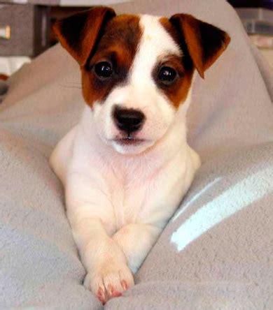 imagenes de perros jack rusell venta de cachorros perros de raza jack russell terrier
