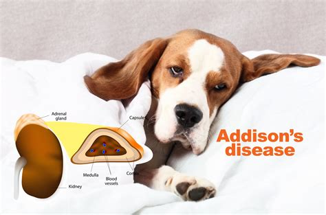 what is s disease in dogs information about addisons disease for dogs sake