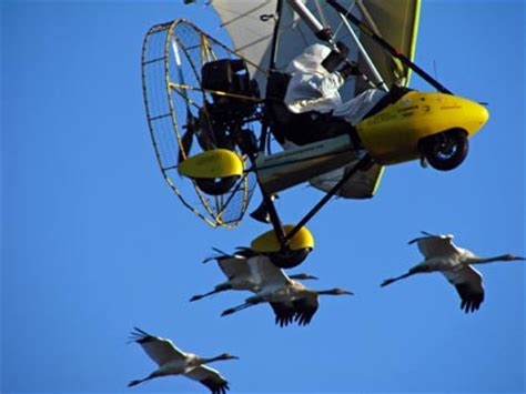rescue flight in blue sky guiding young whooping cranes