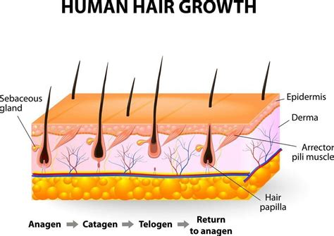 stages of hair how long does it take to grow a beard