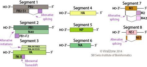 m protein influenza orthomyxoviridae