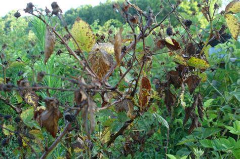 Brombeeren Krankheiten by The Gordian Knot Of Small Fruit Virology Emerging