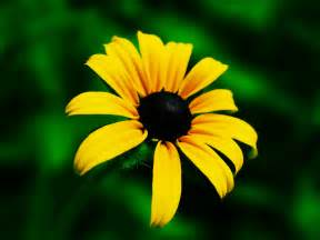 romantic flowers black eyed susan flower