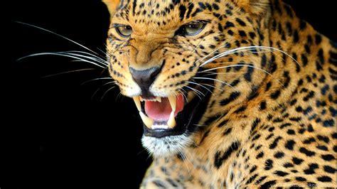 animals jaguars wallpapers hd desktop  mobile