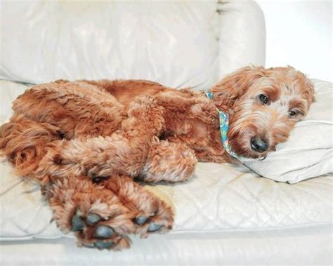 goldendoodle indianapolis goldendoodle pup thinks he s a engine in adorable