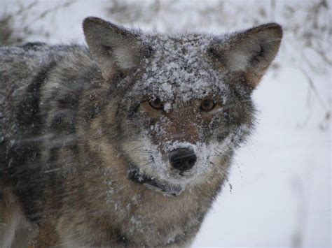 Coyote Destiny coywolves why are coyotes here bigger different than