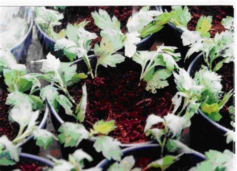 Pupuk Untuk Bunga Krisan oyon bin jovi menanam bunga krisan dalam pot