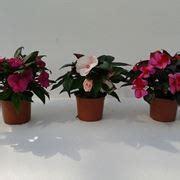 fiore nuova guinea nuova guinea pianta piante annuali la pianta nuova guinea