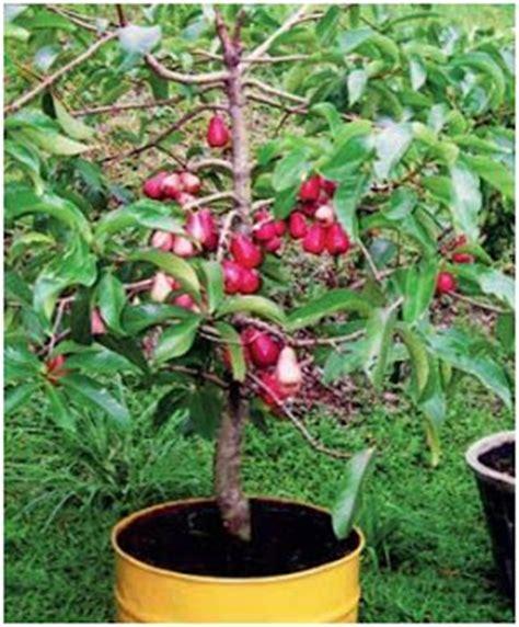 Alpukat Fuerte By Golden Effort dryad palace jambu air wax apples