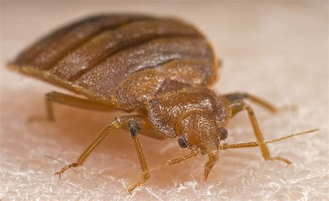 bed buggs frequently asked questions bed bug faqs