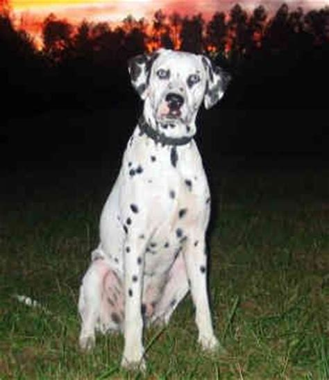 dalmatian puppy names 191 best images about dalmatian on image dalmatians and wallpaper