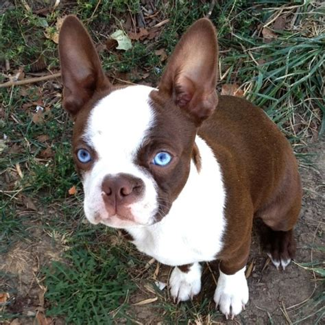 brown boston terrier puppies 25 best ideas about boston terriers on brown boston terrier boston