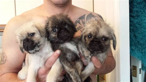 shih tzu or pug pug x shih tzu pug zu ready now skelmersdale lancashire pets4homes