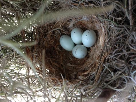 house finch eggs pictures house finch eggs