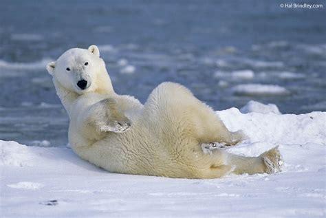 photo of the week polar in churchill manitoba canada