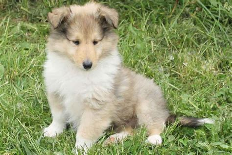 puppies for sale collie puppies for sale bazar
