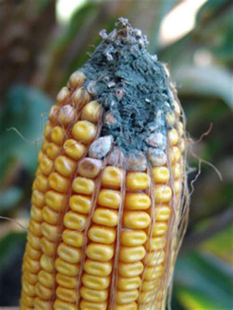 corn ear rots & grain molds | cropwatch | university of