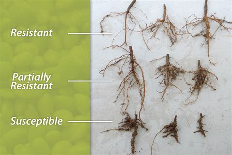 root knot nematode resistant vegetables lima bean lines udaily