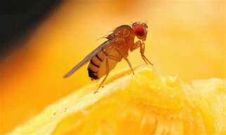 Fruit Flies In Bathroom Small Fruit Flies Www Galleryhip Com The Hippest Pics