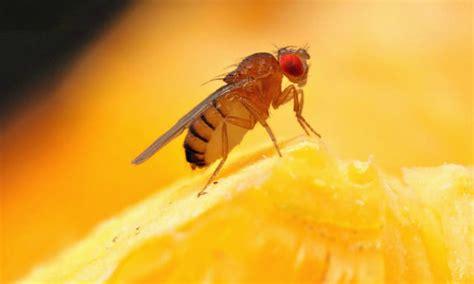 how to kill flies in house how to kill fruit flies and prevent them too housewife how to s 174