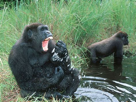 Cross River Gorilla | Animal Wildlife